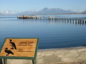 Puerto Natales (CH). Cormorani