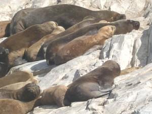 Canale di Beagle (AR). Leoni ed Elefanti marini